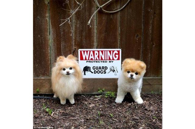 Ev koruyan köpeklerin güldüren kareleri