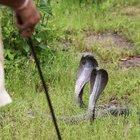Çin'de 50'den fazla zehirli kobra yılanı çiftlikten kaçtı