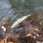 1,5 milyon alabalığın telef olduğu iddiasına soruşturma