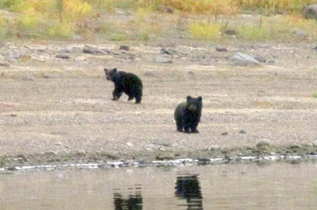 Anne ayı, büyüyen yavrularını terk etti