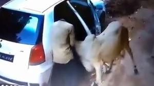 Otomobilin arka koltuğuna sığırı koyup böyle çaldılar!
