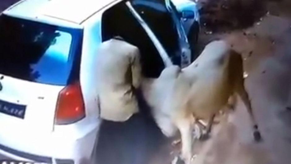 inek sığır otomobil