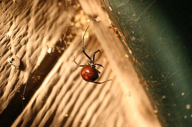 Karadul örümceği