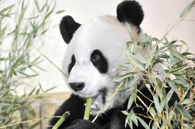 Cia Cia Hong Kong panda dünyanın en yaşlısı