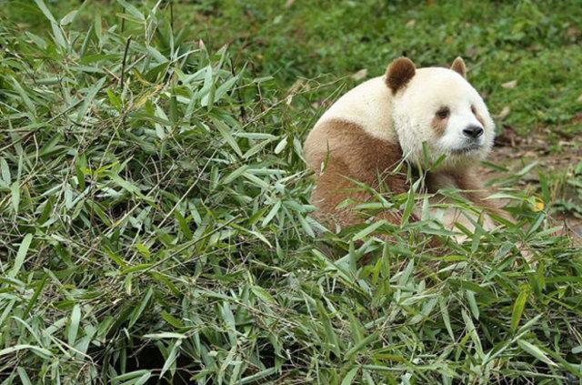 Kahverengi panda ilgi odağı oldu