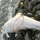 Tekirdağ'da kıyıya vuran yunusta 3 kurşun yarası