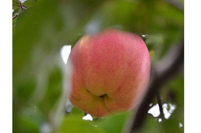 Esrarengiz meyvenin gizemi çözülmeyi bekliyor