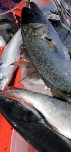 Denizlerin kraliçesi lüfer, balıkçılara umut oldu!
