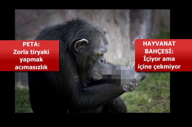 Sigara içen şempanze Azalea