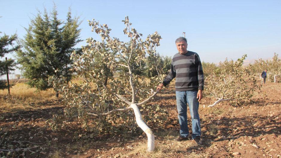 Siirt fıstık ağaçlarını kestiler