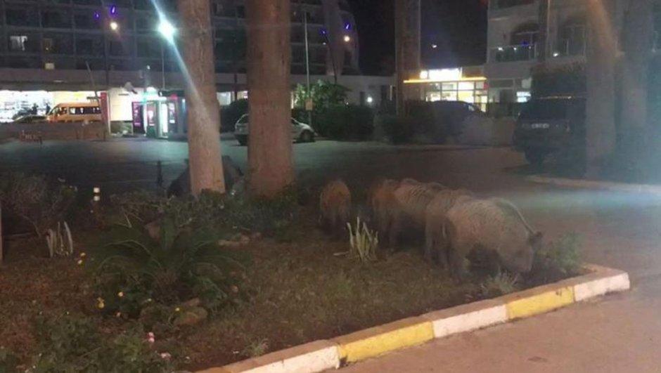 muğla'da domuz sürüsü şehre indi