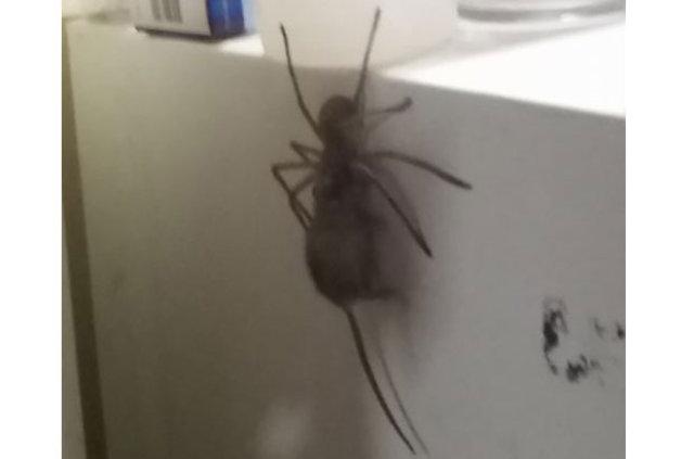 Ağzında kocaman fare taşıyan örümcek dehşete düşürüyor!