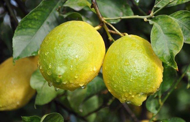 Zeytinyağı ve limon karışımı karaciğere detoks yapıyor!