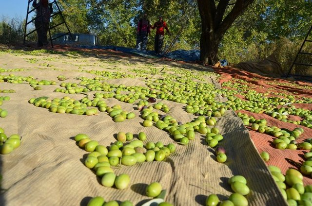Zeytinin yaprağı da şifa kaynağı
