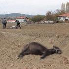 Kütahya'da 5 eşek vahşice öldürüldü