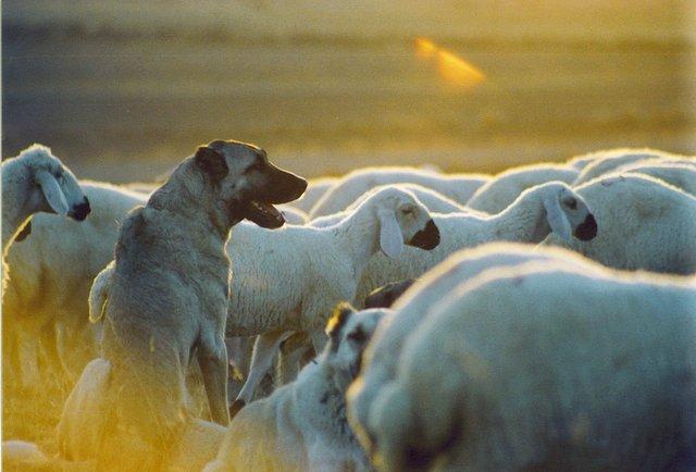 Kangal köpekleri dövüştürüp para kazanıyorlar