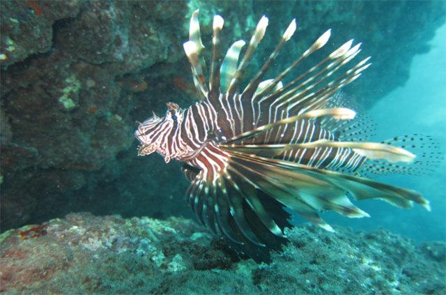 Muğla kıyılarının tehlikeli misafiri 'Aslan Balığı'