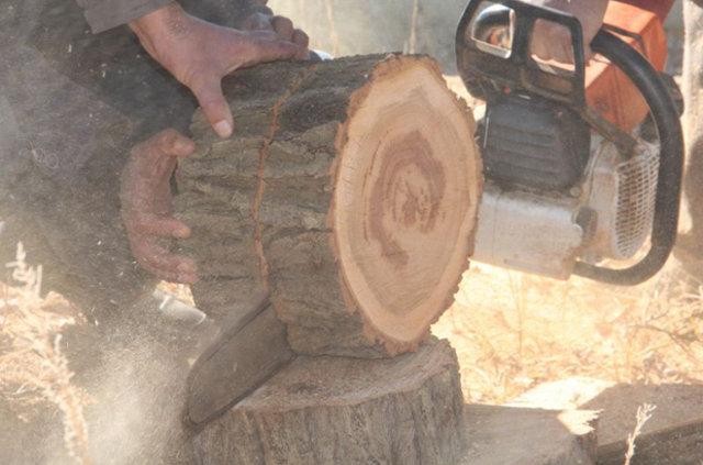 Kayısı ağaçlarını kesti, bakın ne çıktı