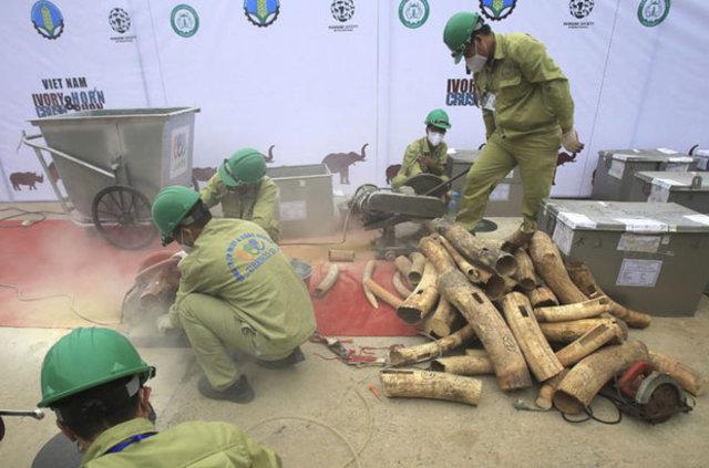 Vietnam'da tam 2 ton fildişi ve gergedan boynuzu yakalandı!
