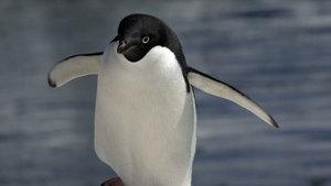 Yeni Zelanda'da penguenlere özel alt geçit yapılacak