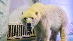 Kutup ayısı 'Pizza' hapisten kurtuldu