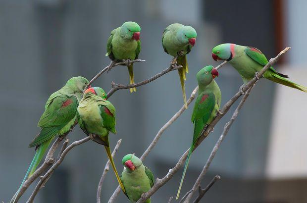 Kiraz Erciyas Yavuz Esra Per papağan