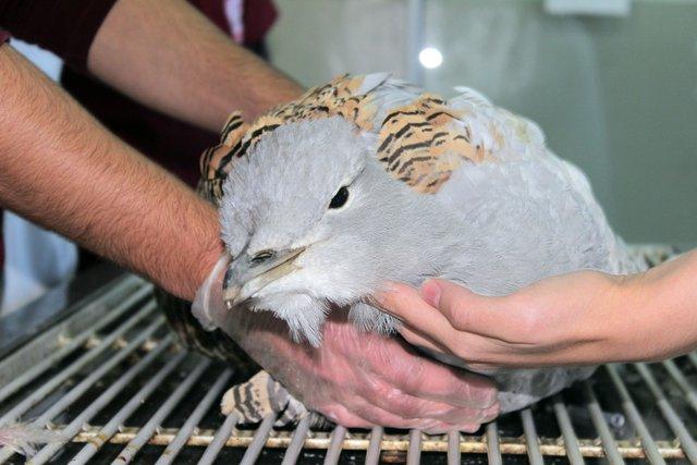 Tunceli'de toy kuşu bulundu