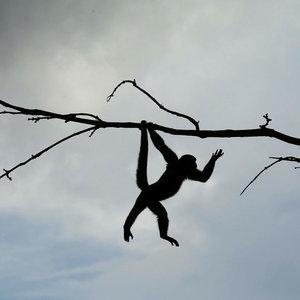 Maymun kavga çıkardı: 20 ölü, 50 yaralı!