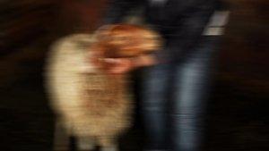 Gazze'de koyuna yapay kalp nakli
