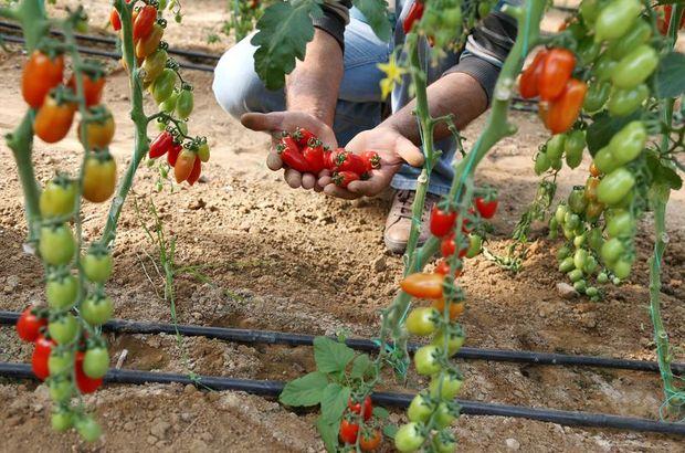 Urma domatesi
