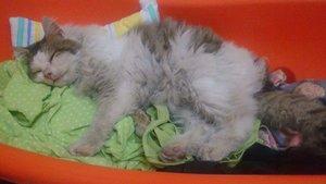 Manisa'da kediye tecavüz iddiası