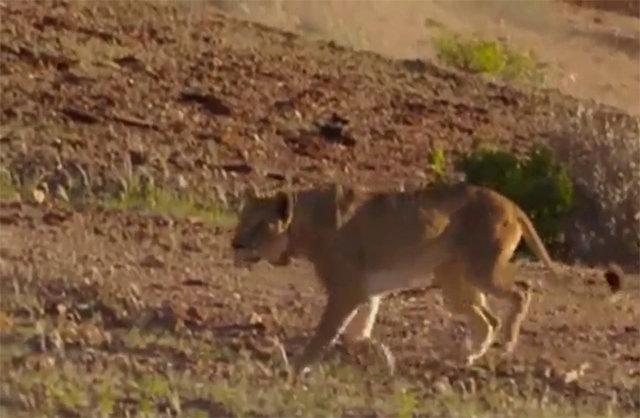 Zürafa ve aslanın amansız mücadelesi