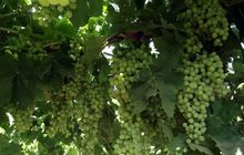 Kiraz ve üzüm ihracatçılarına eğitim verildi
