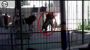 Gösteri sırasında aslanın saldırdığı eğitmen hayatını kaybetti