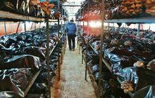 İstiridye mantarı üretiminde 20 ton rekolte sağladılar