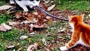 Gaziantep'te kediler yılanı paylaşamadı