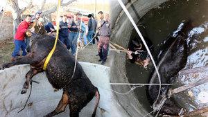 Muğla'da kuyuya düşen ineği kurtarmak için seferber oldular