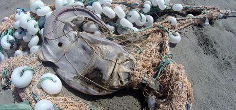 Kanada'da binlerce deniz canlısı kıyıya vurdu