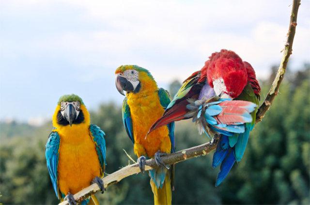 Üç papağanıyla Antalya sokaklarında