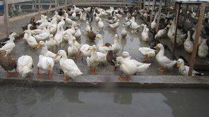 Fransa'da kuş gribi tehlikesi