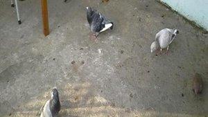 Adana'da güvercin cinayeti