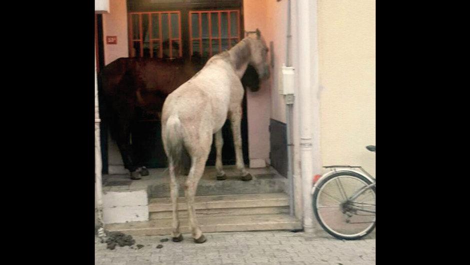 Büyükada terk edilmiş atlar