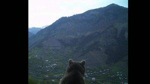 Ayı Artvin'de köyü izlerken görüntülendi
