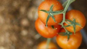Türk domatesi Dubai ve Katar'a havalanıyor