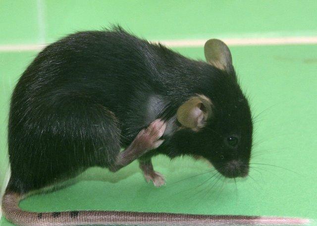 Bilim insanları fareyi lazerle bir caniye çevirdi