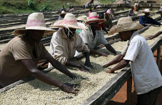Etiyopya'da kahve işçileri günde 1 dolara çalışıyor