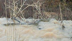 Manisa'da görülen dev yılan şaşkına çevirdi