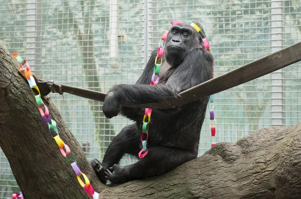 Dünyanın en yaşlı gorili Colo öldü