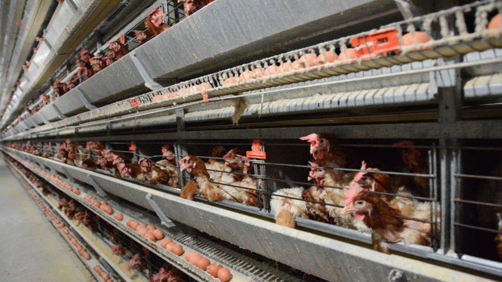 Kazık yumurtlayan tavuk: Fiyatı 2 bin TL!