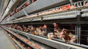 Yeşil yumurtlayan tavuk rekor fiyatla satılıyor